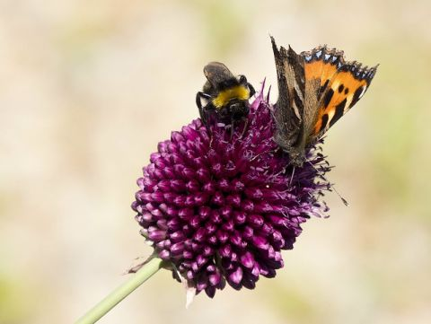 A bumblebee and a small monarch butterfly on an allium flowerhead