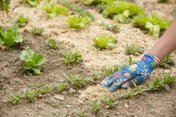 Mulching around vegetables