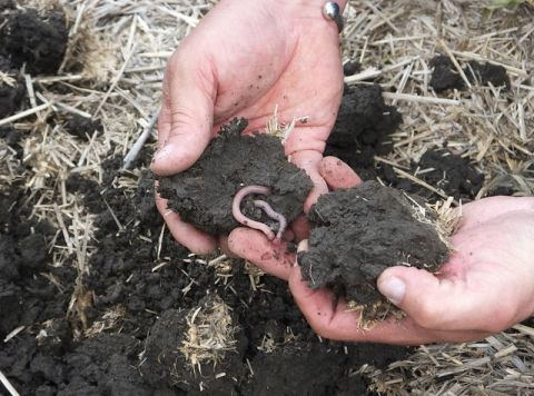Earthworm in soil